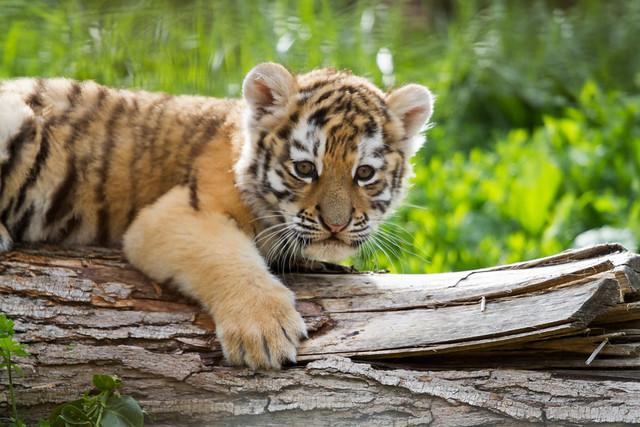 Siberian tiger cub - take 2