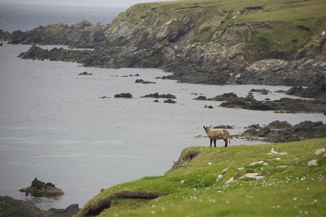 Baby Lamb, overlooking the North Sea