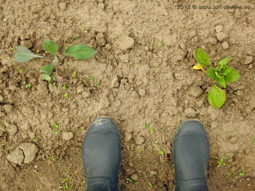 Gemüsegarten 2013 - Wellies