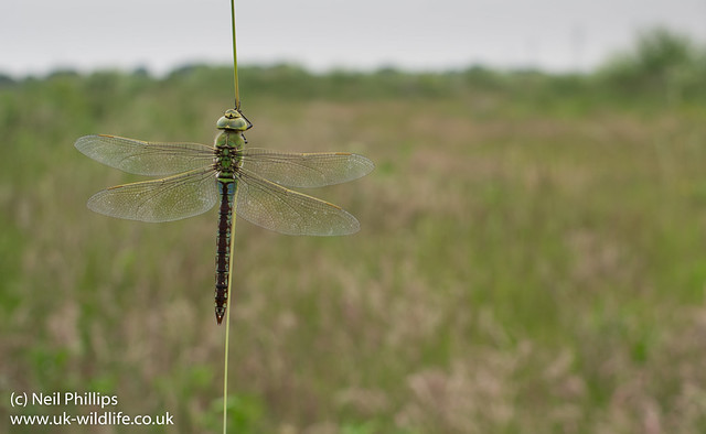 Female emperor dragonfly wide angle-6