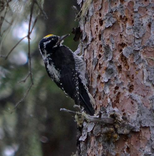 American 3-toed Woodpecker
