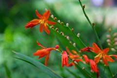 flower, leaf, plant, nature, crocosmia 㗠crocosmiiflora, macro photography, wildflower, flora, close-up, plant stem,