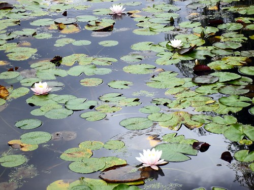 Lily pond at The Lagoons