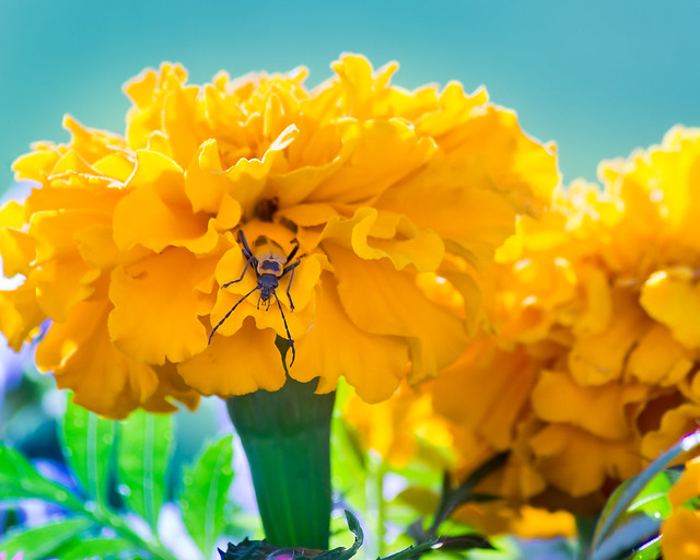 Bug, Marigold, Soldier Bug, Yellow, Blue, Green