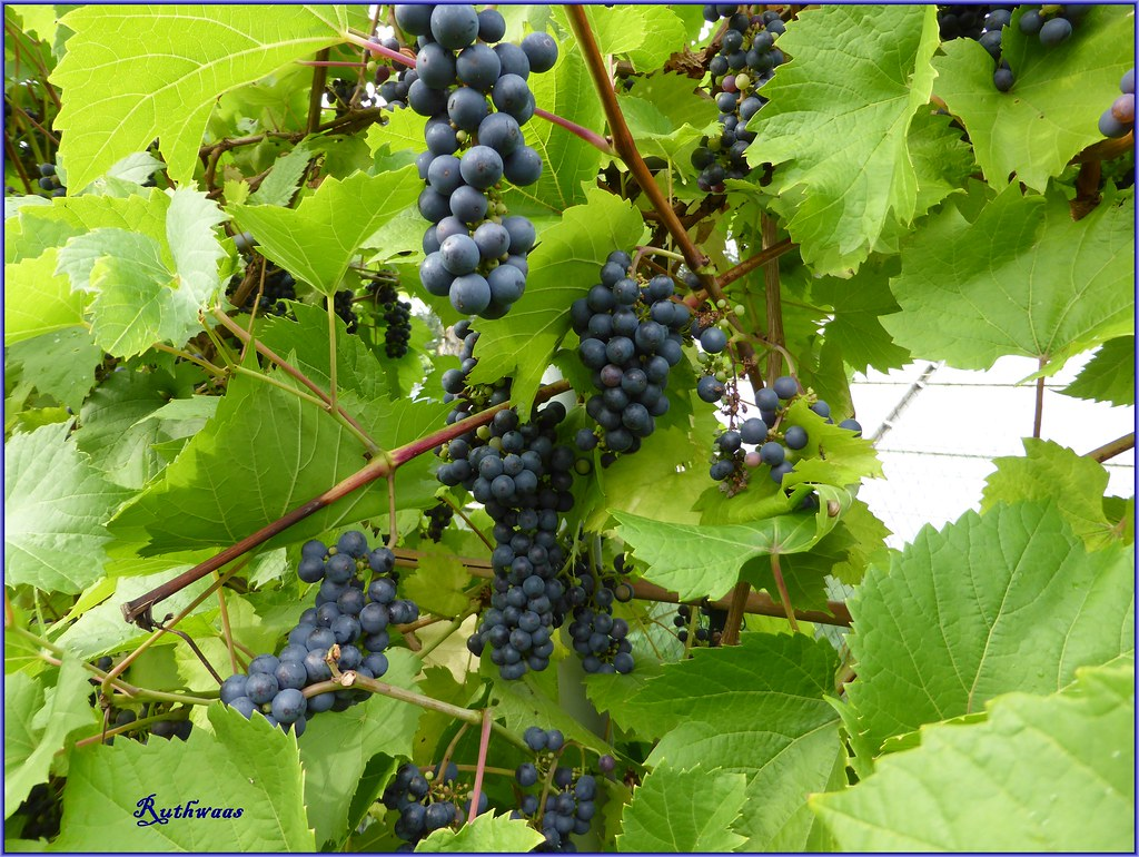 P1000568 2 blue grapes 2013