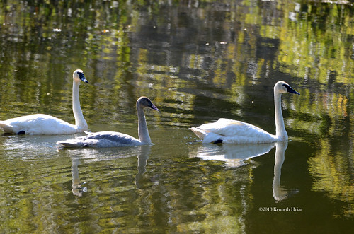Trumpeter Swans with cygnet©