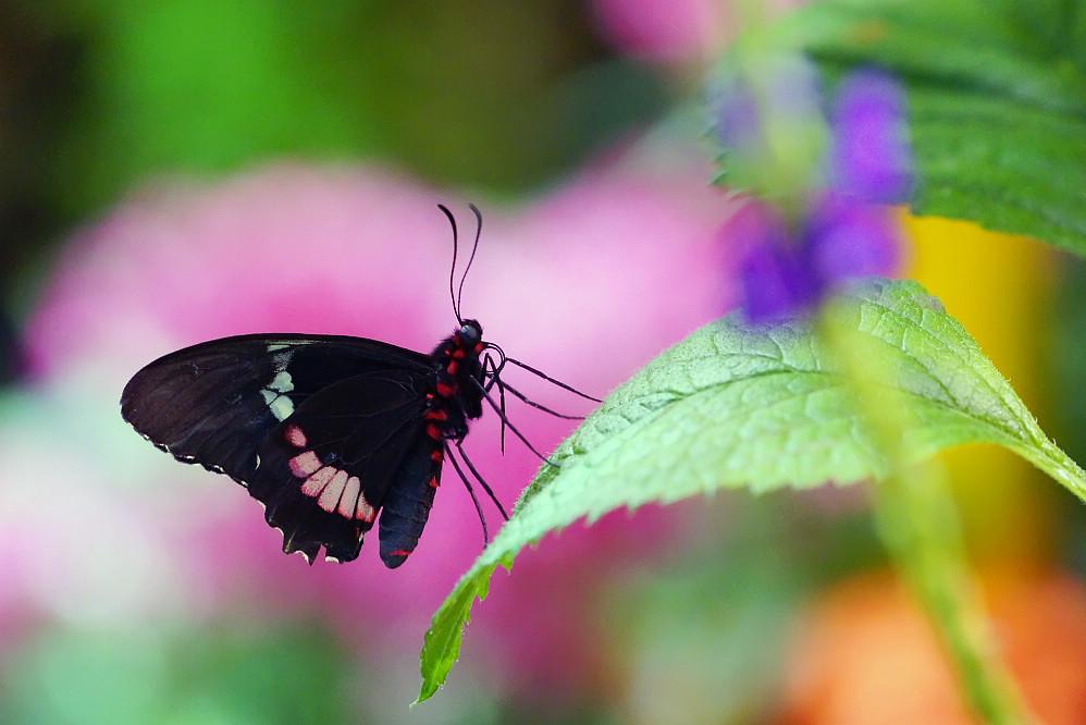 美洲鳳蝶 Papilio-2