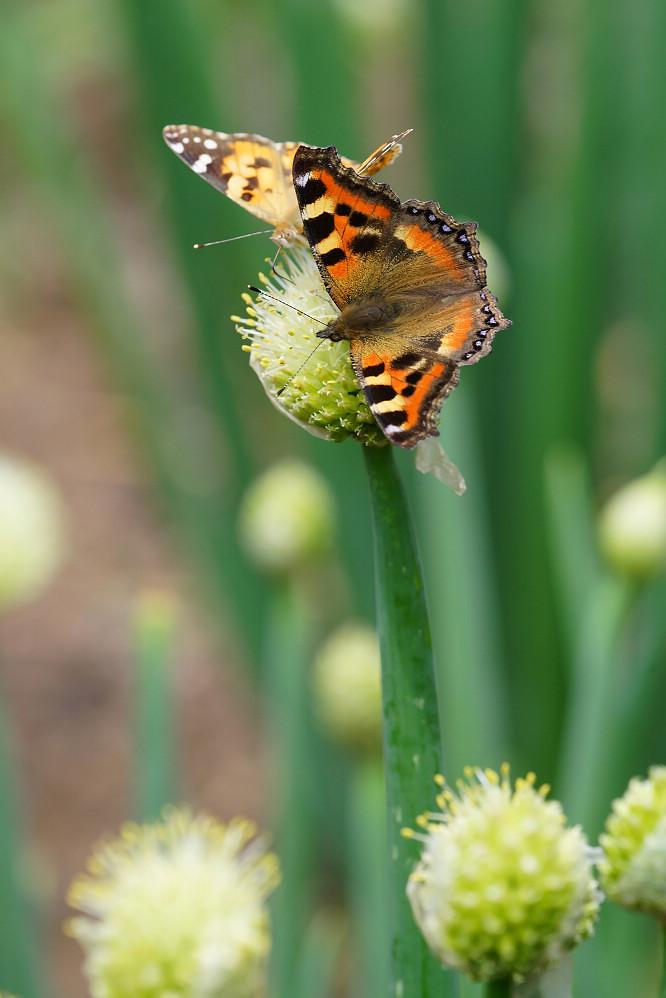 南亞蛺蝶 Aglais kaschmirensis-1