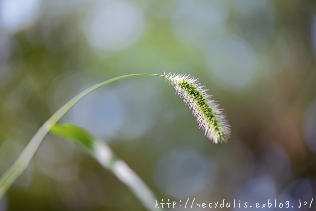 エノコログサ [Setaria viridis]...