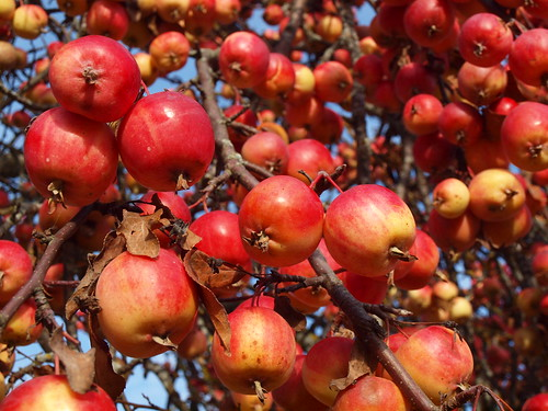 Good year for apples! - EXPLORED