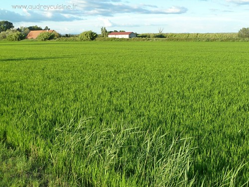Champs de riz en Camargue