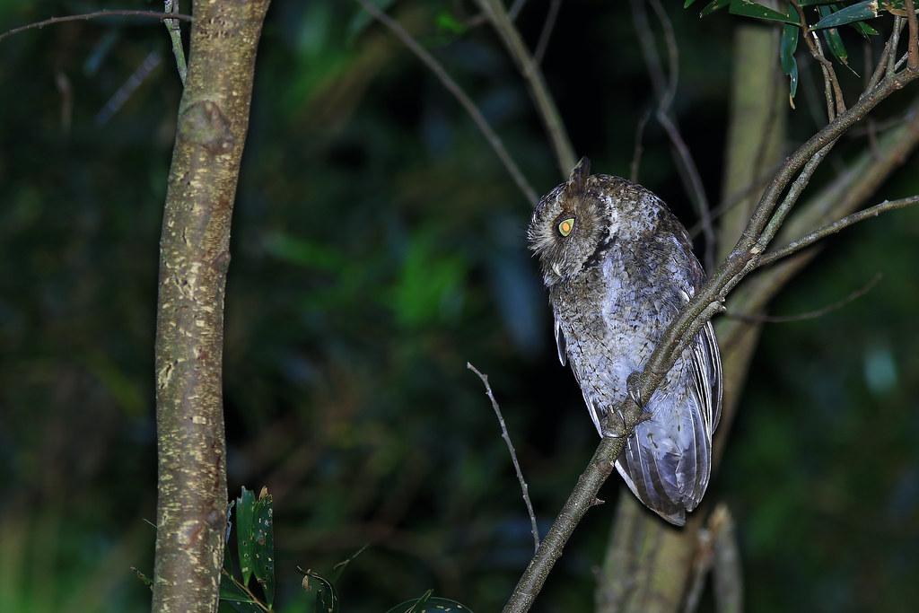 黃嘴角鴞-1