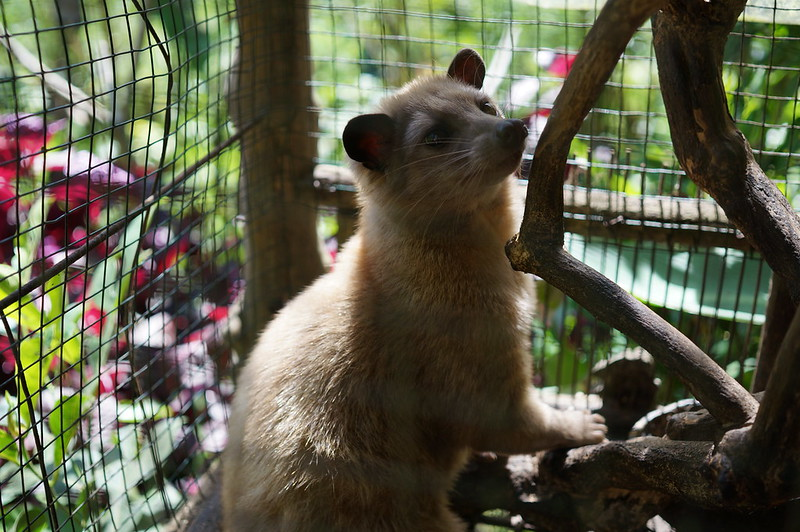 Luwak (Asian palm civet) fed on coffee beans