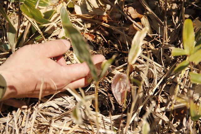 赤茶色のハート型がめだっていたトキワイカリソウの葉.
