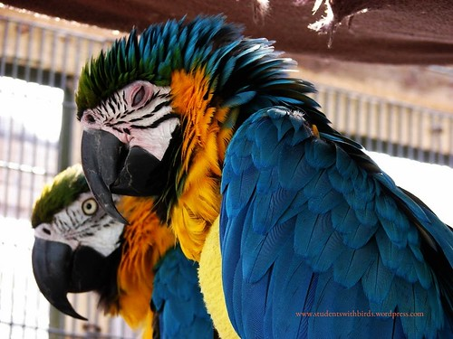 Sleeping Blue and Gold Macaw