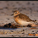 NZ Dotterel by Rdugmore2009