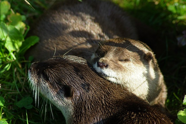 Otters cuddle