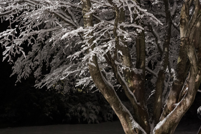 Japanese Maple in Snow - Flotsam of the Mind