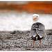 Mono lake seagull by Chris Odchigue + Photography