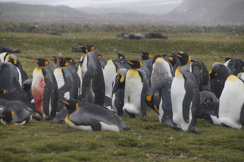 485 Koningspinguins