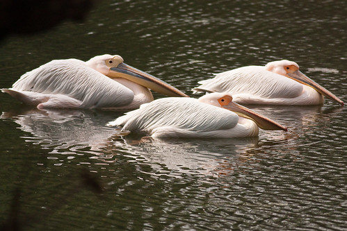 Great White Pelican by Quazi Ahmed Hussain