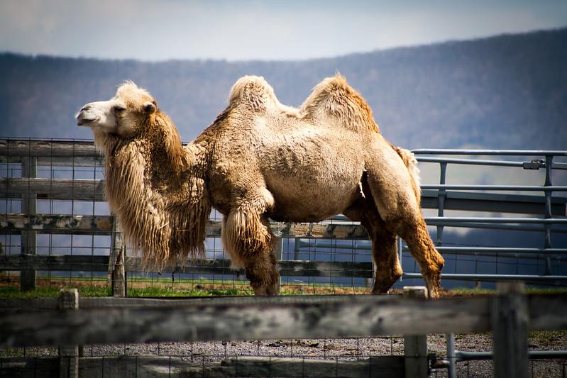 camelstwelve