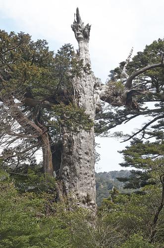 【写真】2014 離島めぐり : 紀元杉/2021-04-07/PICT6108