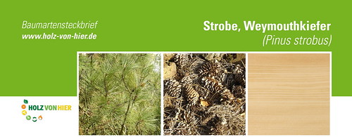 Strobe-Weymouthkiefer-Header