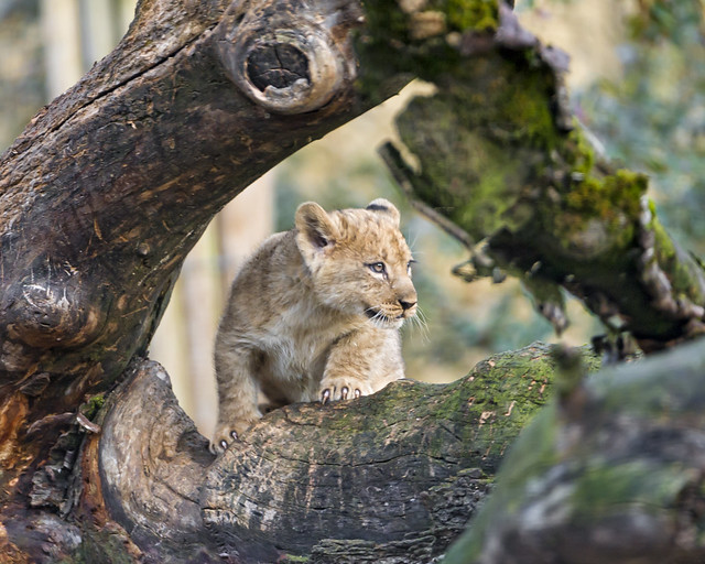 Cub on the  tree