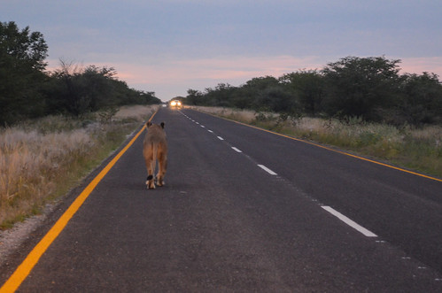 Lioness on the road, Etosha NP