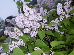 blossom(0.0), hydrangea serrata(0.0), lilac(1.0), shrub(1.0), flower(1.0), branch(1.0), plant(1.0), lilac(1.0), herb(1.0), flora(1.0),