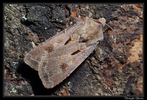 Point d'exclamation (Agrotis exclamationis)