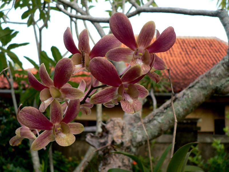 Dendrobium sp. et autres orchidées [id. non terminée] 16168198447_6cf2c9c93b_c