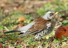 Chats & thrushes
