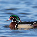 Small photo of Wood Duck, Aix sponsa