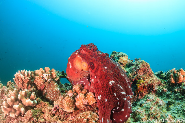 Large red Octopus on a coral reef | Flickr - Photo Sharing!