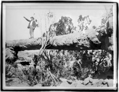 Adam Harmer, first Superintendent of the Petrified Forest of Arizona, standing on a tree bridge, ca.1900 (CHS-1299)