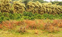 Maui- Tropical Plantation -Joe 3