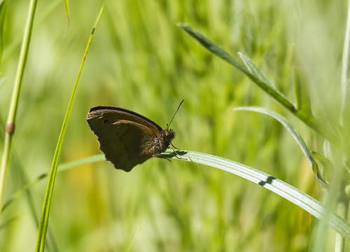 lithuania meadowbrown lietuva maniolajurtina šilalė paprastasisjautakissatyras pailgotis