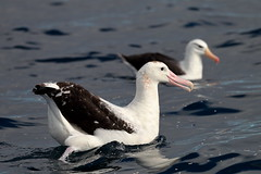 Wandering Albatross and Black-browed Albatross