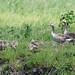 Greylag Geese & goslings (R. Davidson)