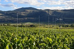 Katabatic flow through vineyard