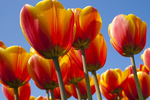 May : Tulip time in Holland