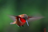 Rufous Hummingbird (Selasphorus rufus) in-flight
