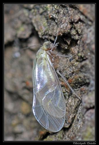 Just moulted Loensia sp. (Loensia variegata ?)
