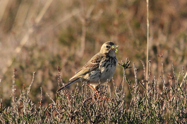 Meadow Pippit with food for young