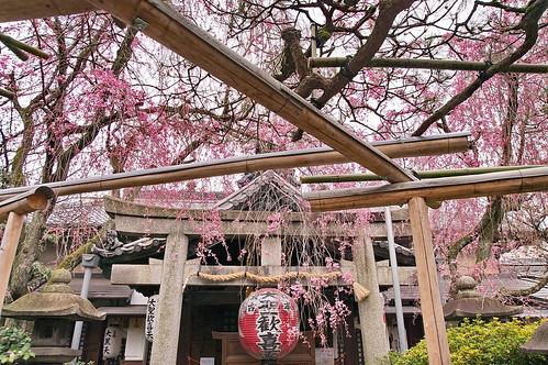 【写真】桜 : 雨宝院