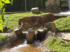 Siberian Tiger 08-28-2008 107