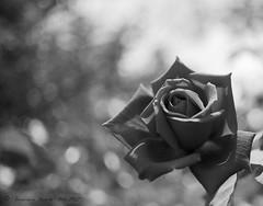 Rosa en blanco y negro / Black & White Rose. (Explore #18 23/07/13)