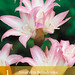 Small photo of Amaryllis belladonna